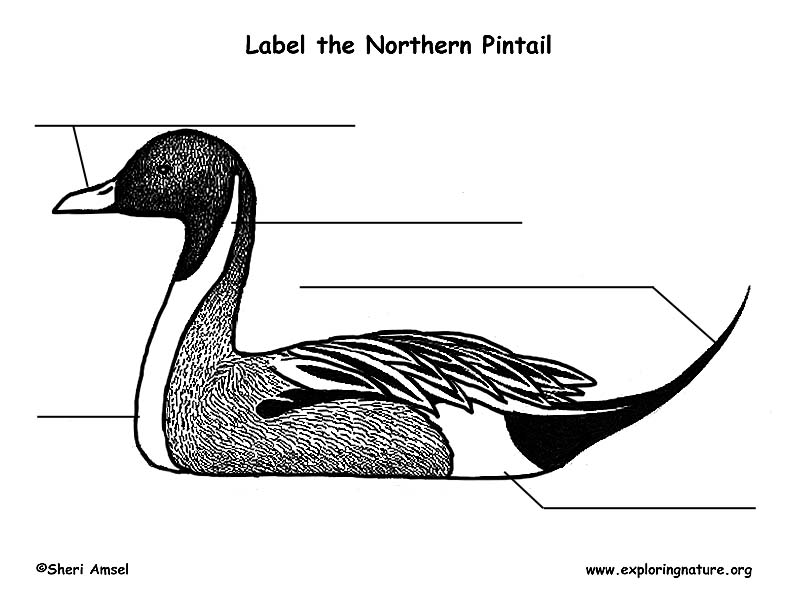 Duck (Northern Pintail) Labelng Page