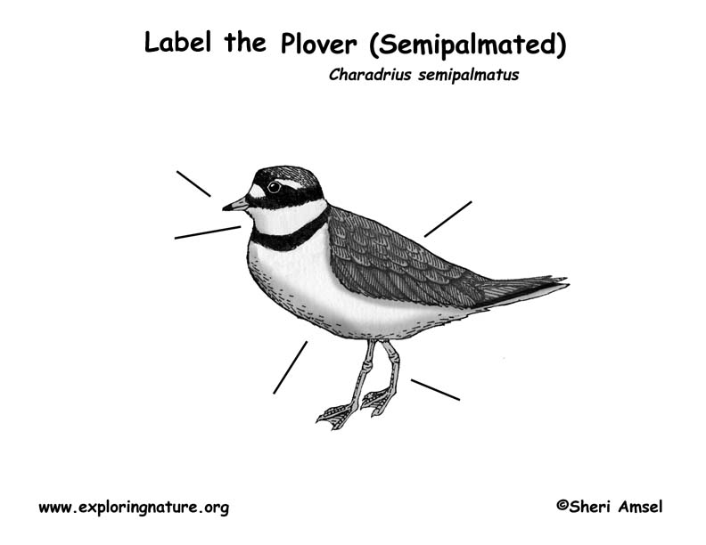 Plover (Semipalmated) Labeling Page