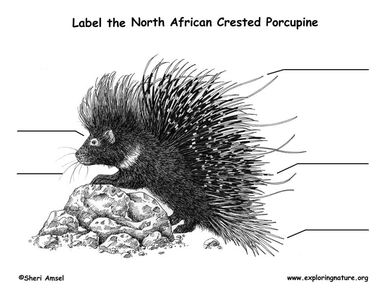 Porcupine (African Crested) Labeling Page