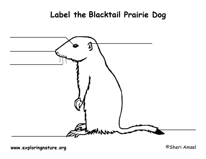 Prairie Dog (Black-tailed) Labeling Page