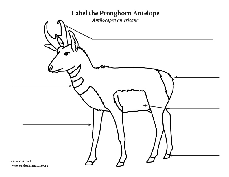 Pronghorn Antelope Labeling Page