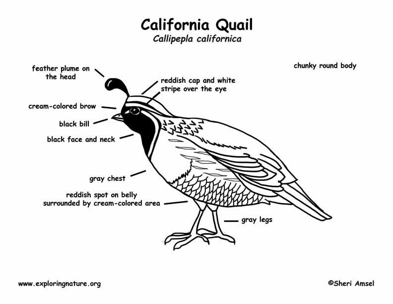 Quail (California) Labeling Page