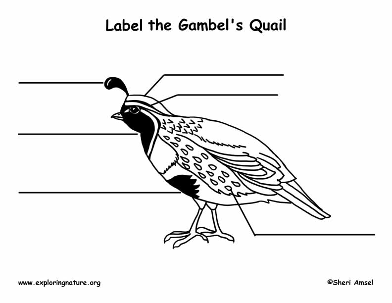 Quail (Gambel's) Labeling Page