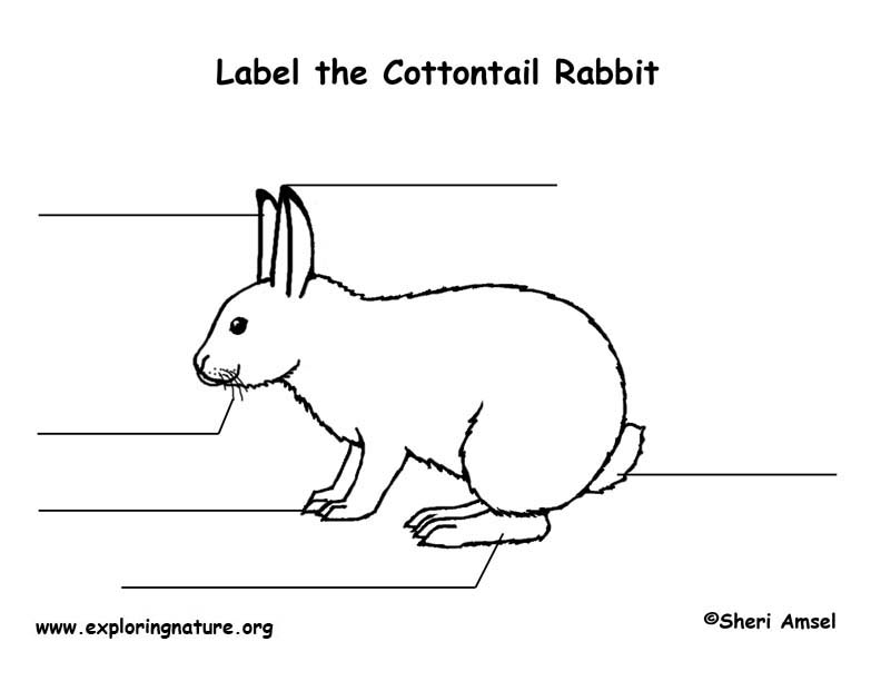 rabbit (cottontail) labeling page bunny diagram