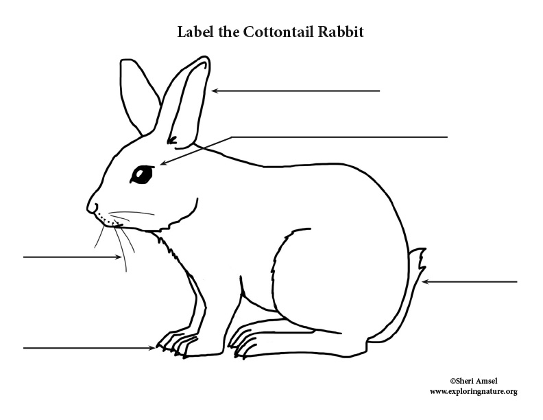Rabbit (Cottontail) Labeling Page, Cottontail Rabbit Labeling Page