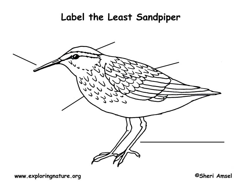 Sandpiper (Least) Labeling Page