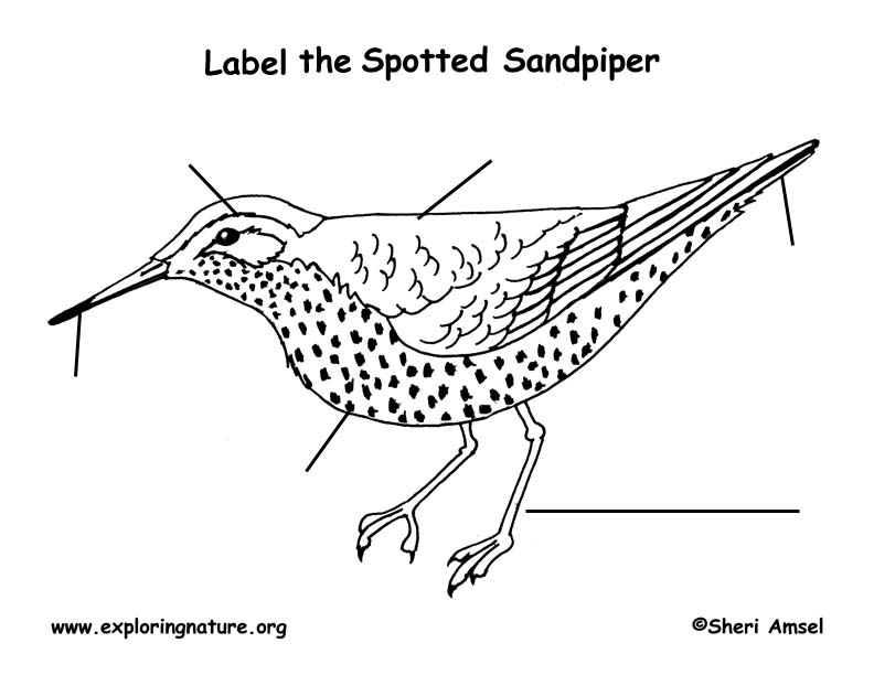 Sandpiper (Spotted) Labeling Page