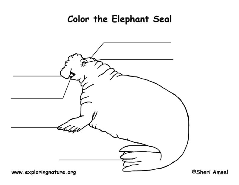 Seal (Elephant) Labeling Page