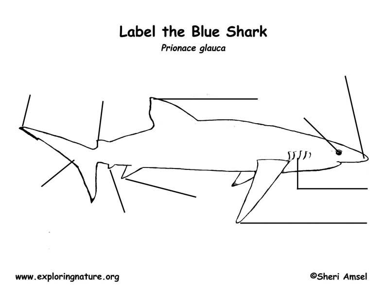 Shark (Blue) Labeling Page