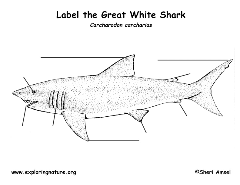 Shark (Great White) Labeling Page
