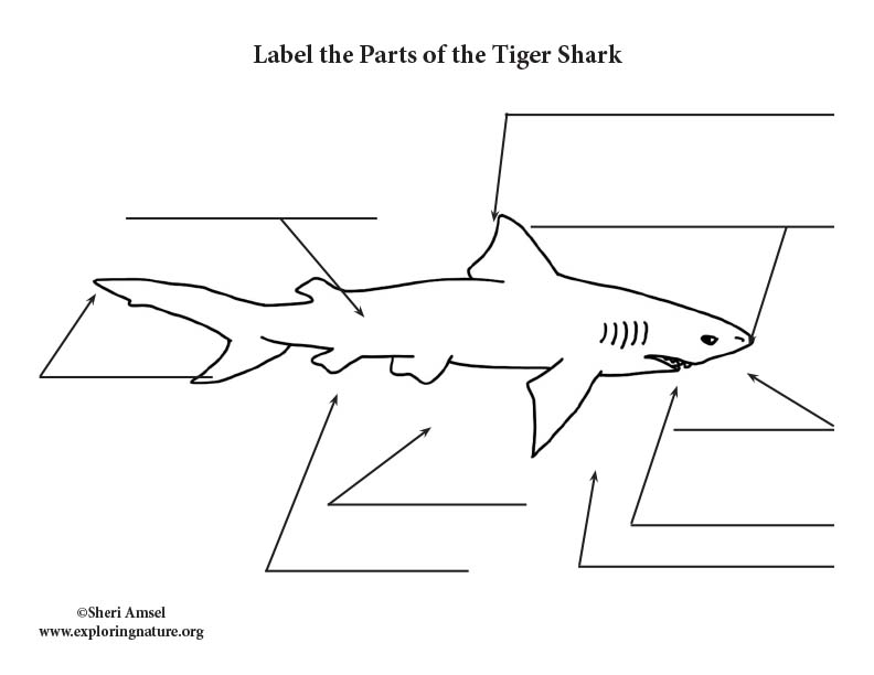 Shark (Tiger) Labeling Page