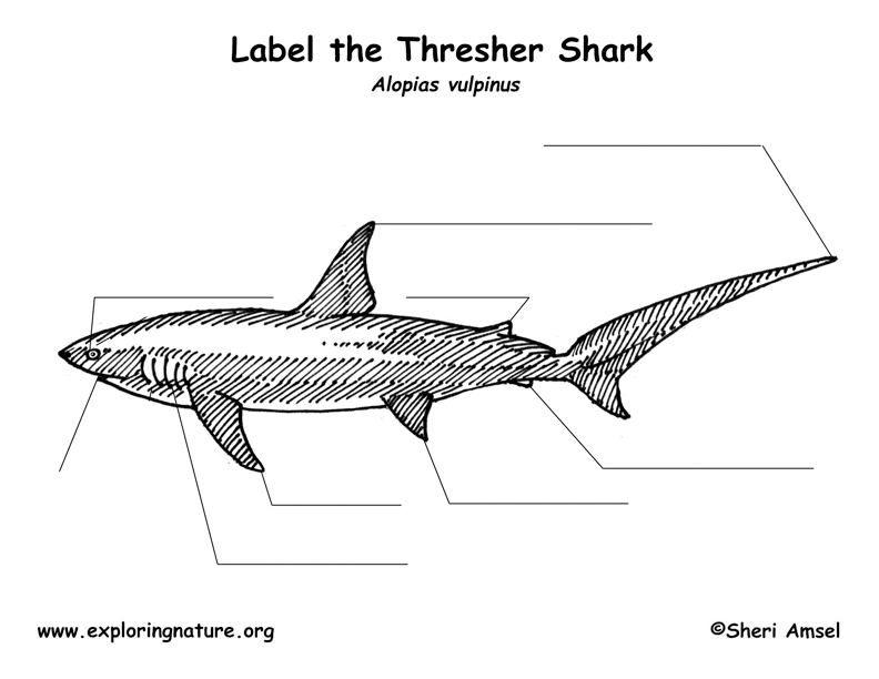 shark  thresher  labeling page
