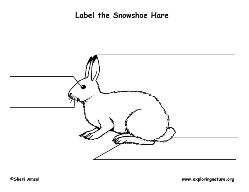 Hare (Snowshoe) Labeling Page