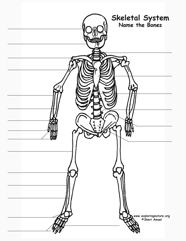 Anatomy skeleton labeling
