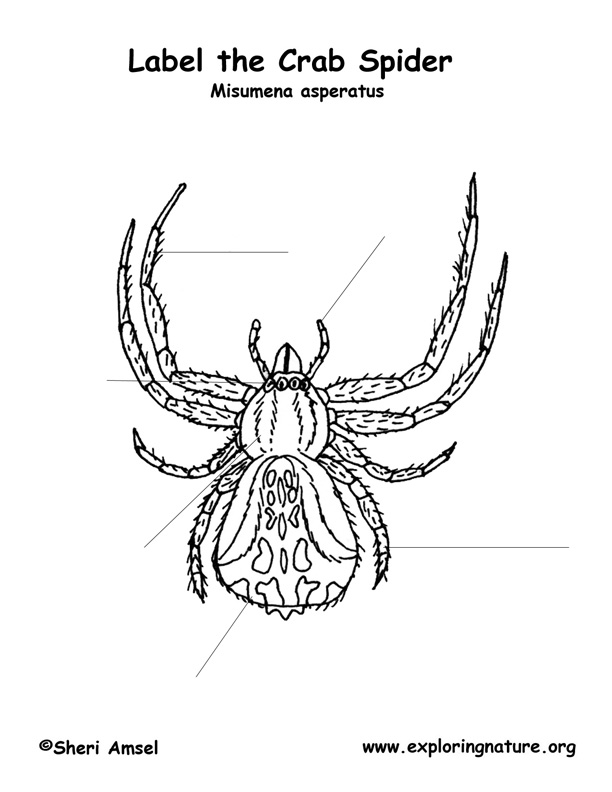 Spider  Crab  Labeling Page  Labeled Spider