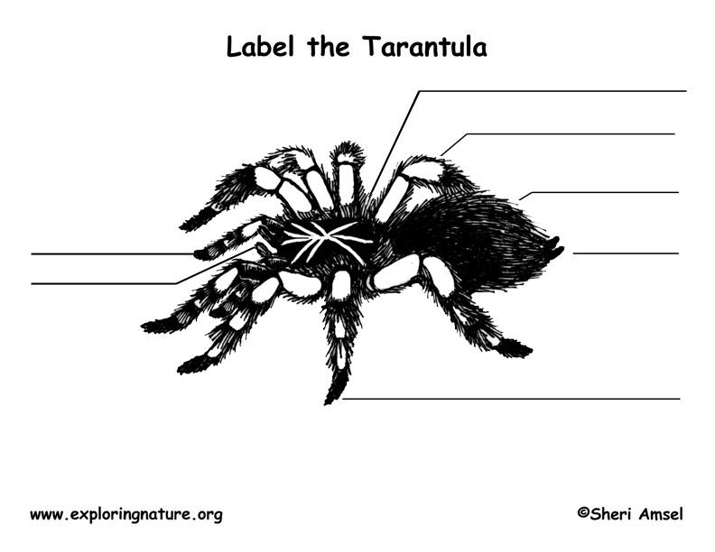 Spider (Tarantula) Labeling Page
