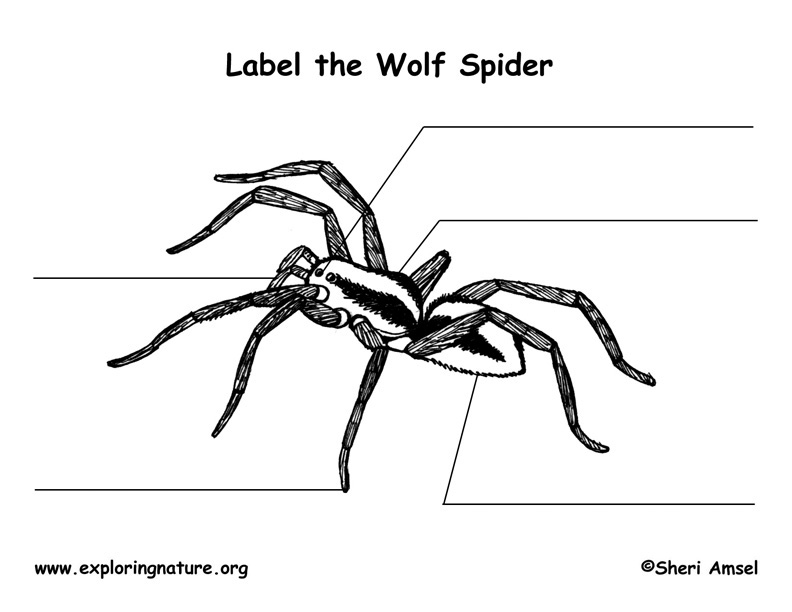 Spider (Wolf) Labeling Page
