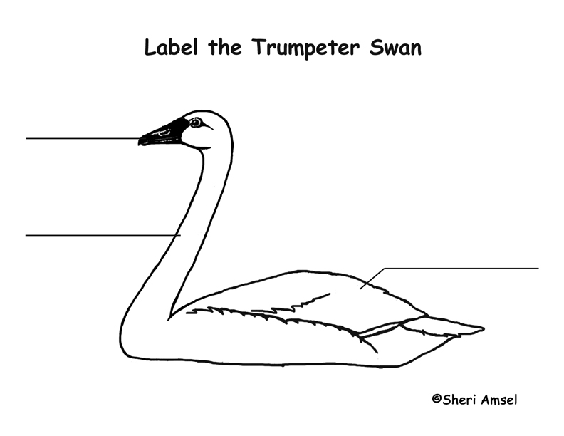 Swan (Trumpet) Labeling Page