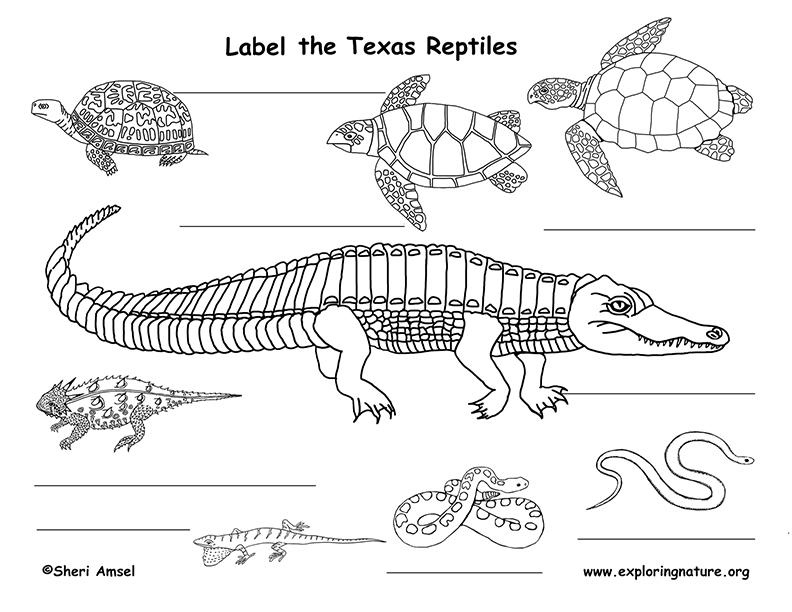 It is a graphic of Unforgettable Lizard Diagram With Labels