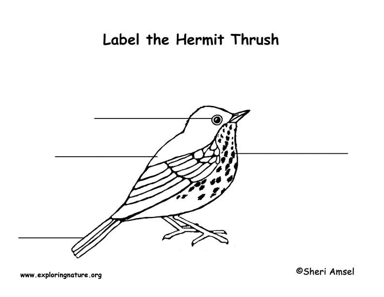 Thrush (Hermit) Labeling Page