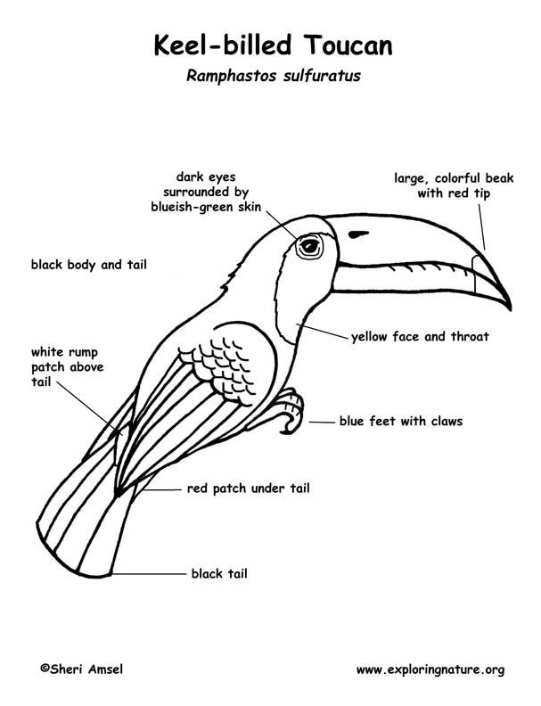 toucan  keel