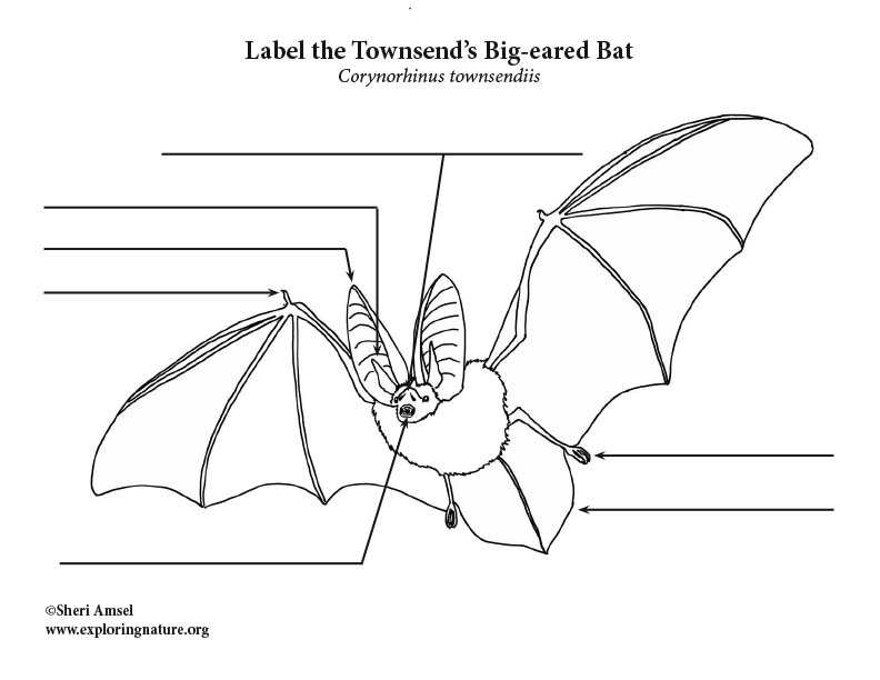 Townsend's Big-eared bat labeling Page