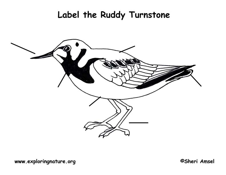 Turnstone (Ruddy) Labeling Page