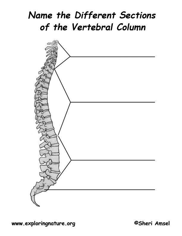 Backbone  Vertebral Column  Labeling PageVertebral Column Unlabelled