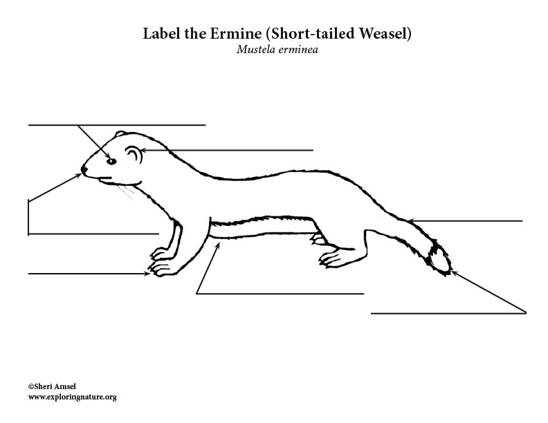 Short-tailed Weasel Labeling Page