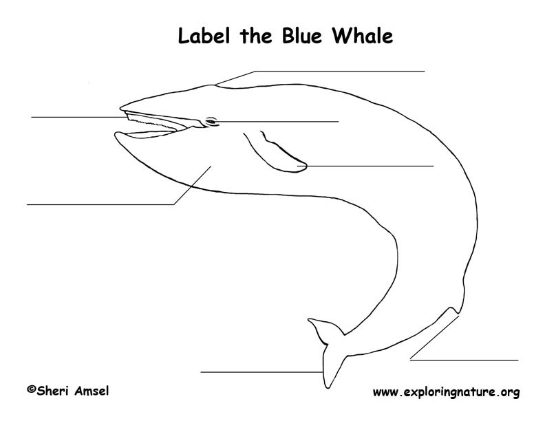 Whale (Blue) Labeling Page, Blue Whale Labeling Page