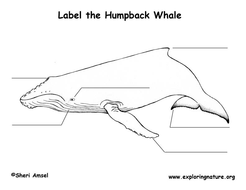 Whale (Humpback) Labeling Page, Humpback Whale Labeling Page