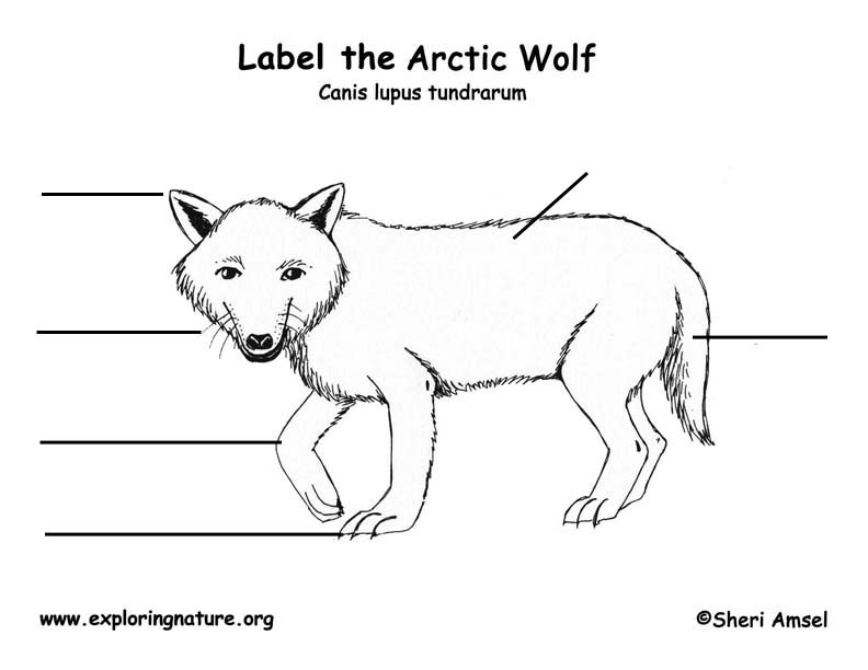 Wolf (Arctic) Labeling Page, Arctic Wolf Labeling Page