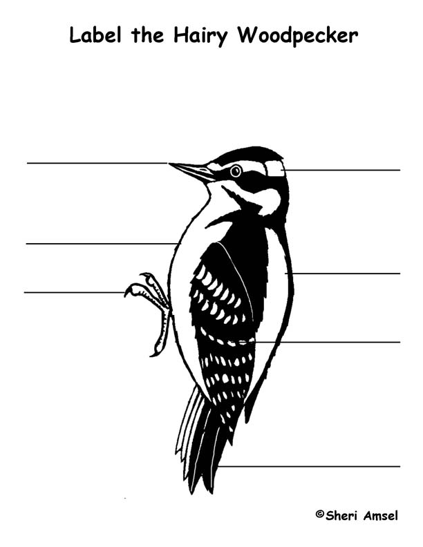 Woodpecker Hairy Labeling Page