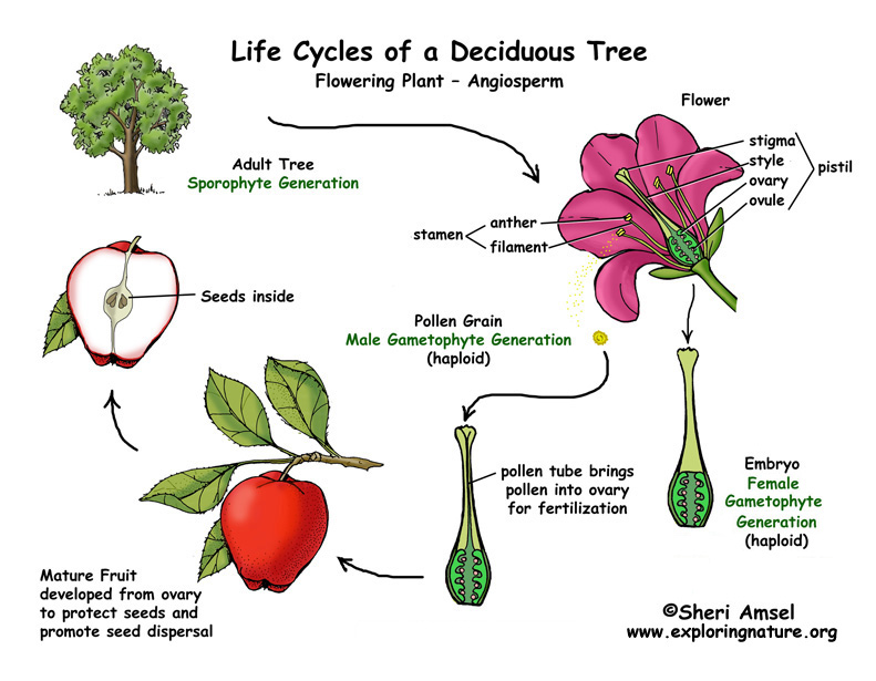 Deciduous Tree Life Cycle Illustrated and Named