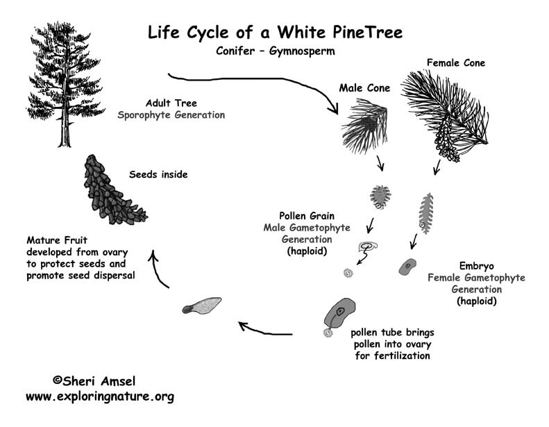 Life Cycle Gymnosperm Bw