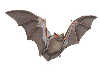 Bat (Hoary), hoary bat