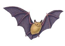 Bat (Pallid)