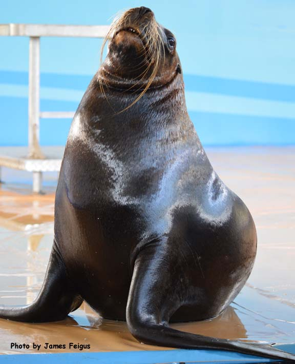 Sea Lion (California)