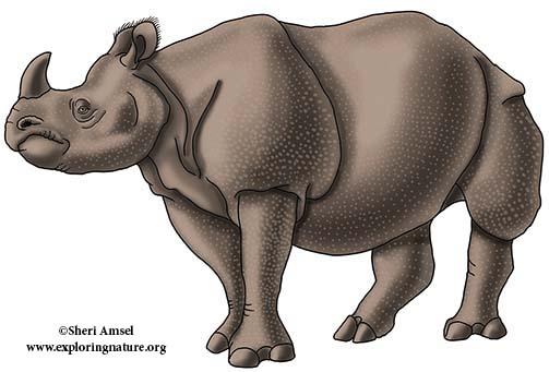 Greater One-horned Rhino, Indian Rhinoceros
