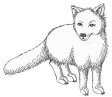 Fox (Arctic)