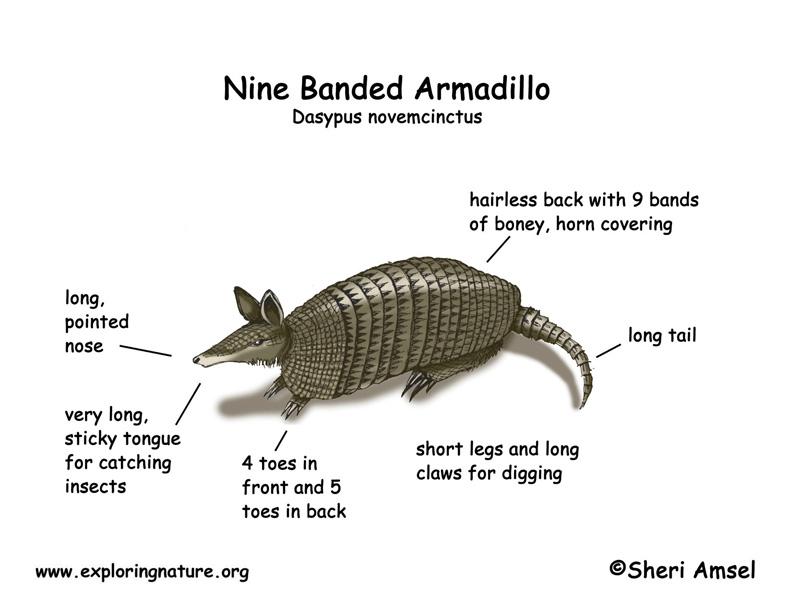 Image result for armadillo diagram