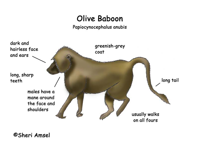 Baboon (Olive)
