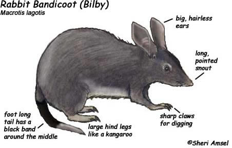 human body diagram pregnant woman bandicoot rabbit or bilby