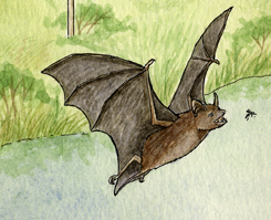Bat (Insect Eating) of North America