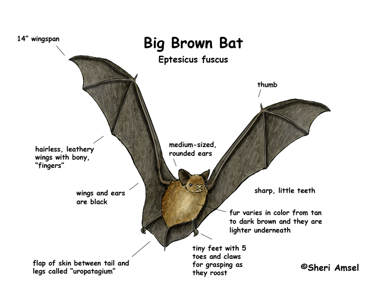 Bat Big Brown