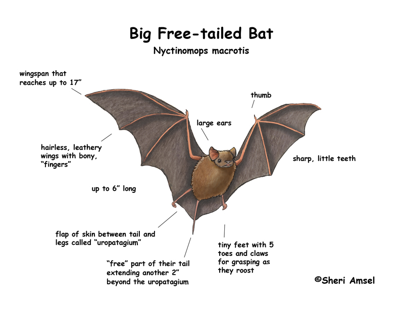 Bat (Big Free-tailed)