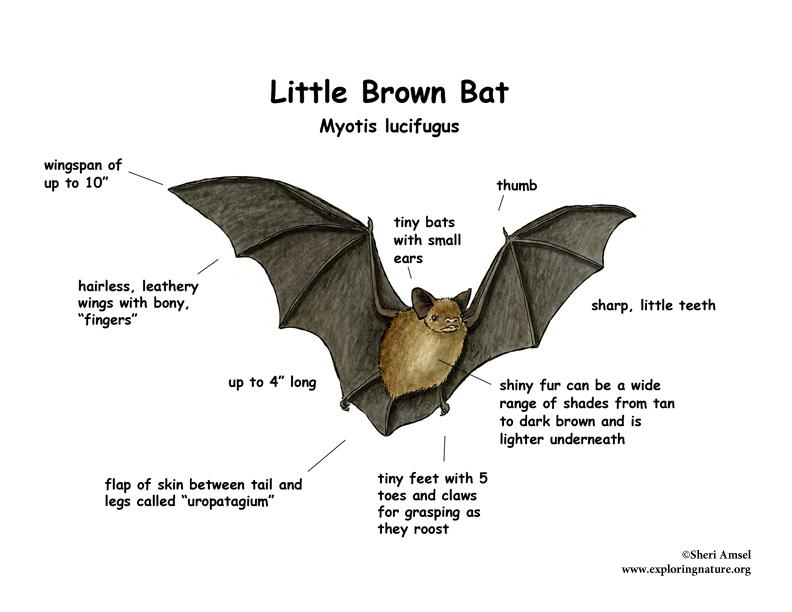 morphology little brown myotis bat Bat Diagram to Label little brown myotis bat