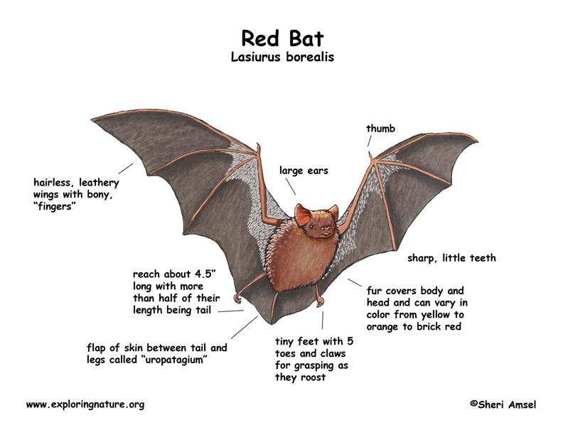 Bat (Red)