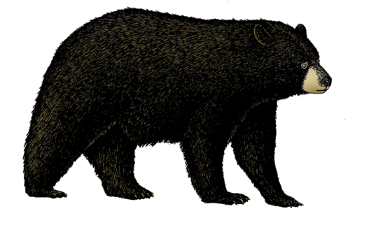 Black Bear Illustration