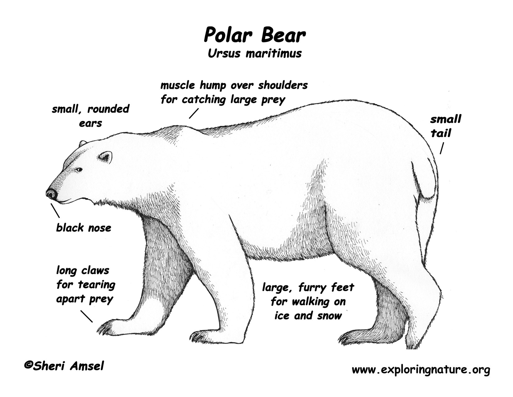 Polar Bear Physiology on Animals With Fur Worksheet Kindergarten